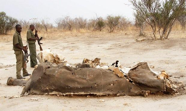 Zimbabwe, altri dieci elefanti avvelenati dai bracconieri